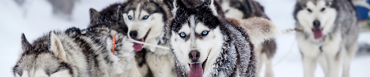 Schlittenhunde Kiruna